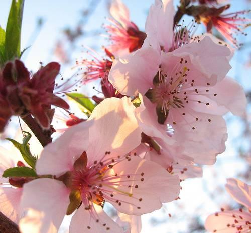 fiori_di_pesco